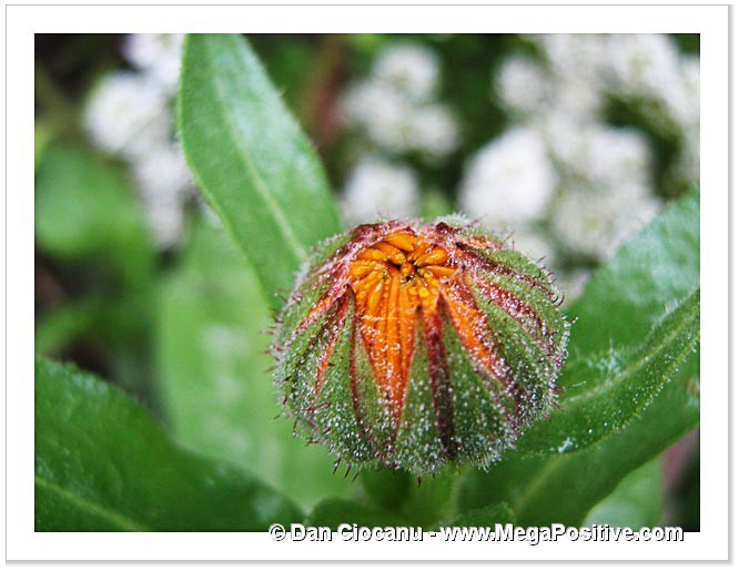 calendula bud with water droplets green art