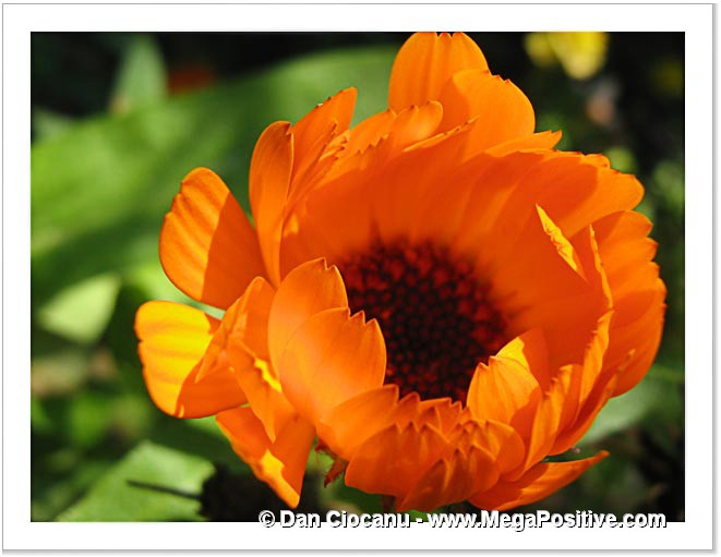 orange calendula flower high positive energy macro photo print