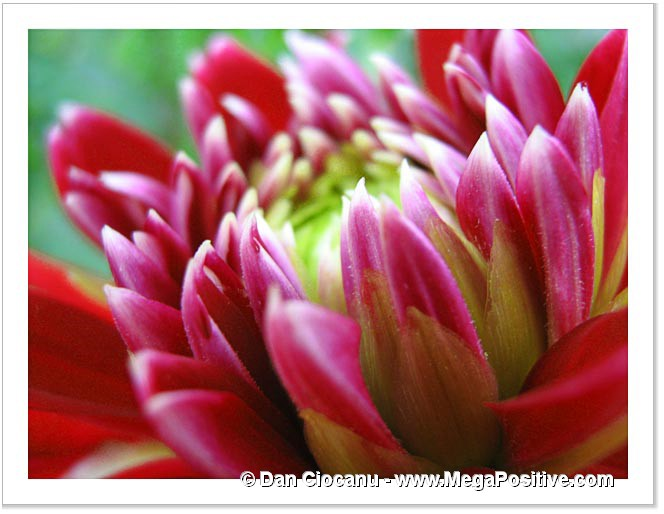 dahlia red pink macro photo print abstract canvas