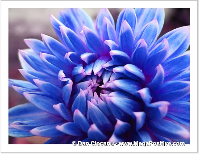 blue dahlia picture macro modern art photo abstract art