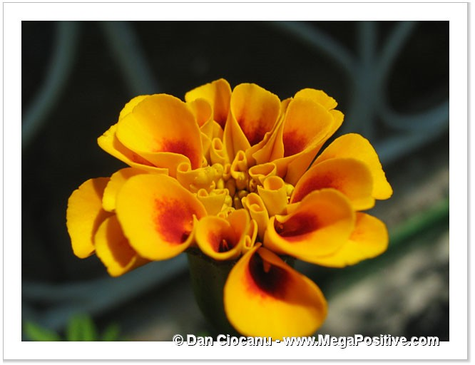 marigold close up photo canvas modern art