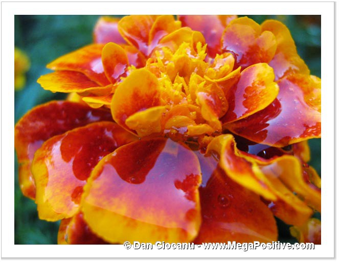 marigold in sugar syrup macro abstract art print