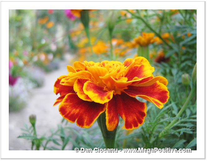 marigold orange yellow flower macro photo from front