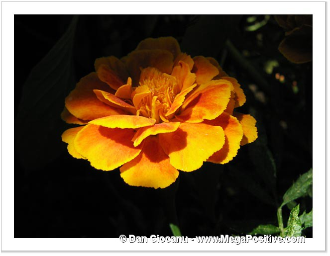 yellow marigold in shadow photo canvas