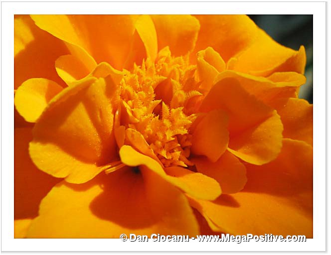 yellow marigold macro photo abstract canvas