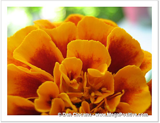 marigold photo abstract photo canvas