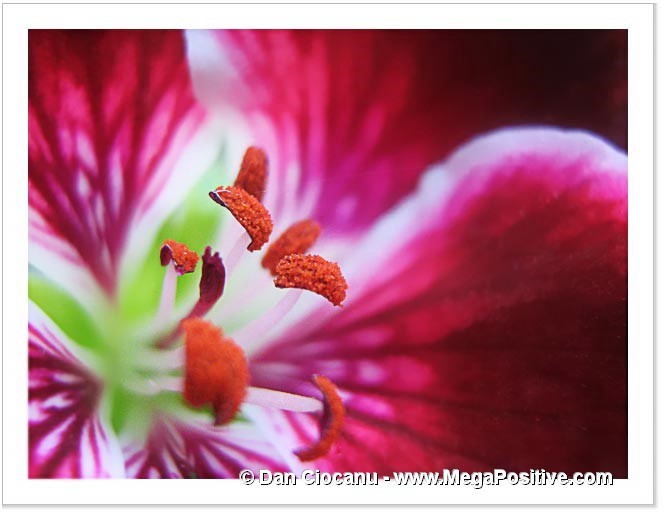 petunia abstract art super macro photo print