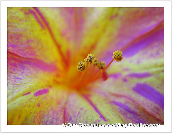 petunia rich colored macro canvas with yellow, red and violet collors