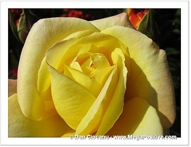 beautiful flower yellow rose abstract art macro photo print