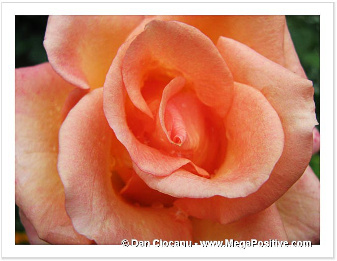 rose flower beige-orange macro abstract art photo print