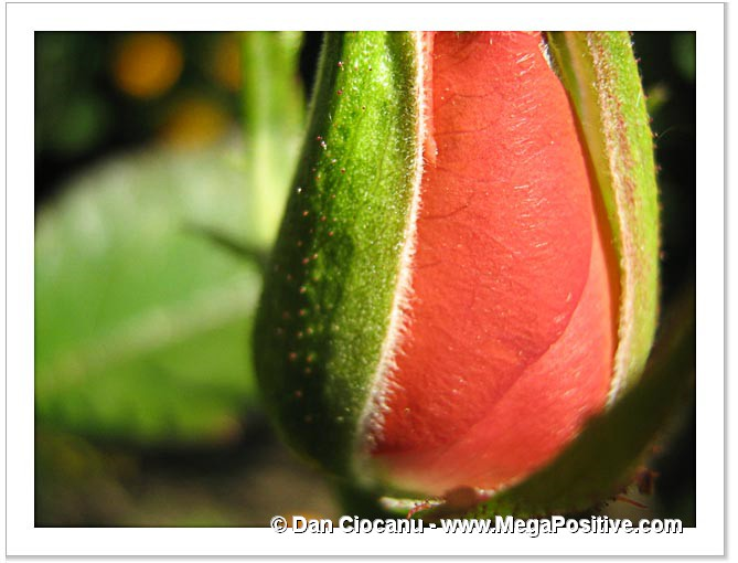 rose bud abstract art macro photo canvas print