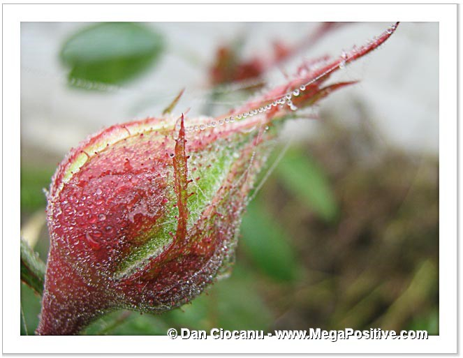 rose bud hoarfrost water drops abstract art macro spider nets