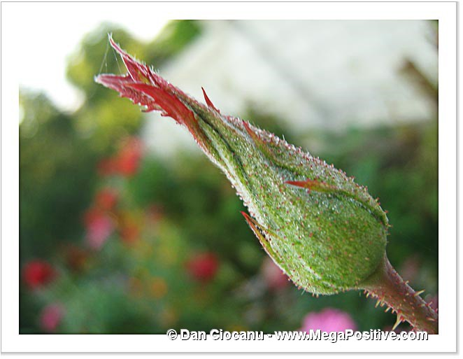 rose bud light hoarfrost macro photo print
