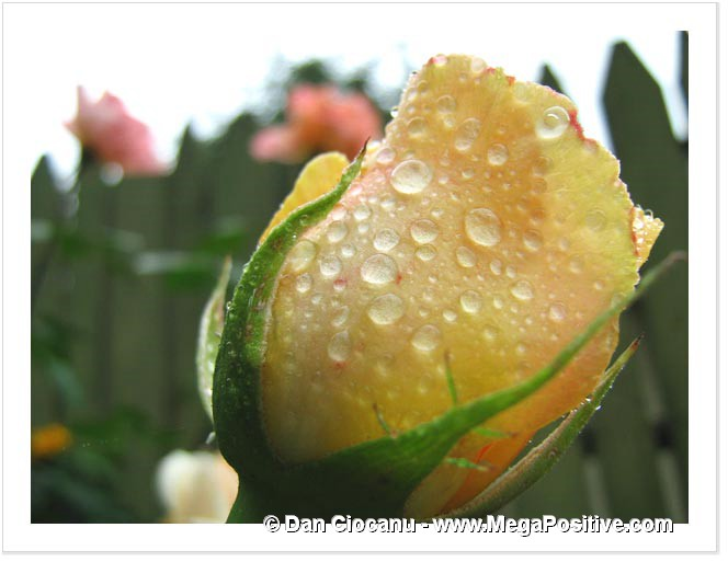 yellow rose bud with water drops after rain macro photo print