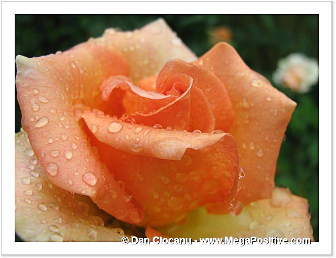 rose flower beige-orange water drops macro abstract art canvas