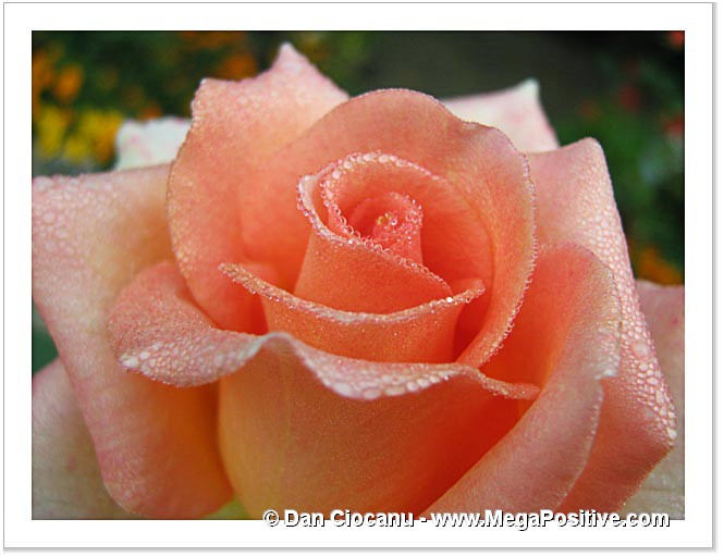 hoar frost water drops on a beige-orange rose flower macro photo