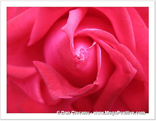 rose petals pink-red abstract art macro photo canvas