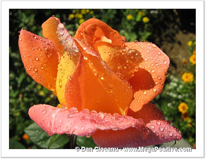 shy rose flower with water drops positive energy art
