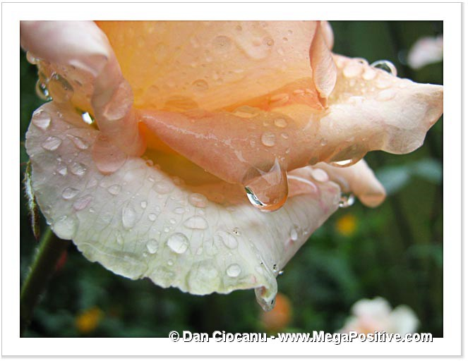 beige light orange rose flower with water drops abstract art photo