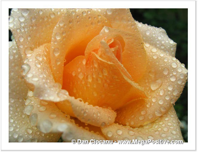 rose light orange with wate drops macro abstract photo canvas