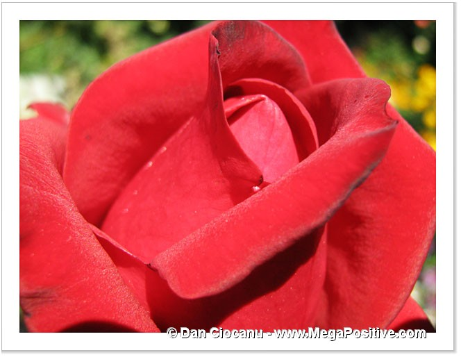 rich red colored rose macro photo canvas modern art