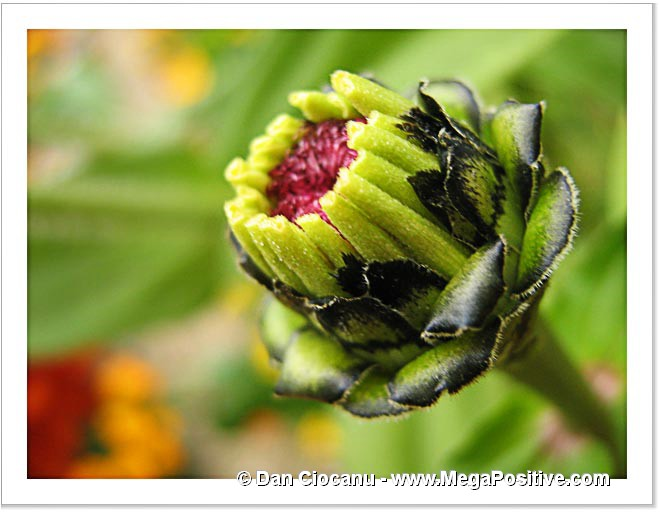zinnia bud green background abstract macro photo print