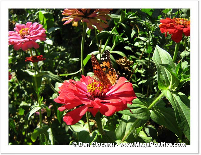 zinnia flower with butterfly on it high energy photo canvas