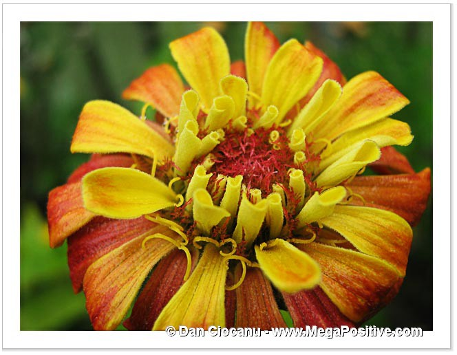 zinnia flower beautiful macro modern art photo print