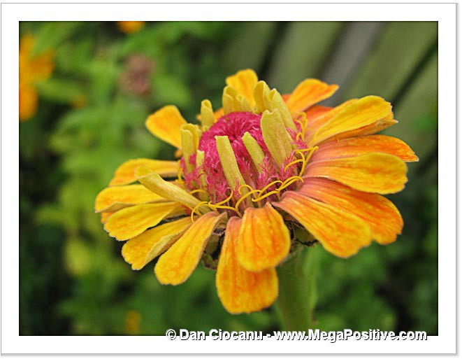 zinnia orange petals macro photo canvas print